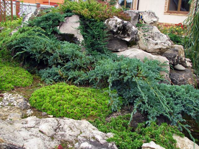 растения хвойного типа в оформлении альпинария