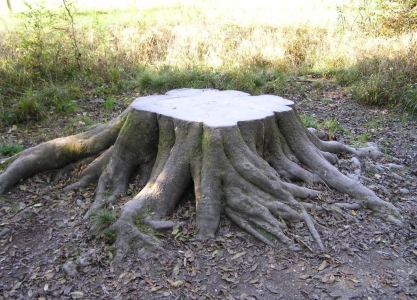 пень с развитой корневой системой