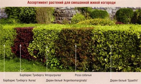 ассортимент растений в живой изгороди