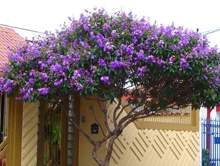 сирень фиолетовые цветы