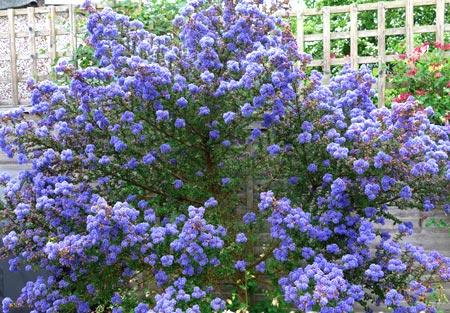 сирень голубые цветы
