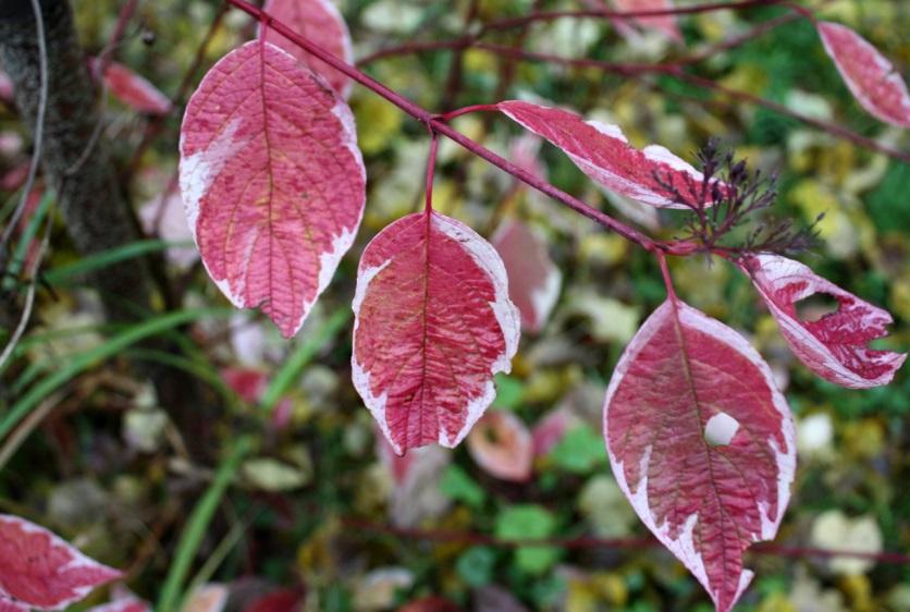 Листья дерена