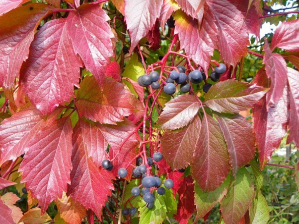 Ягоды на изгороди из винограда