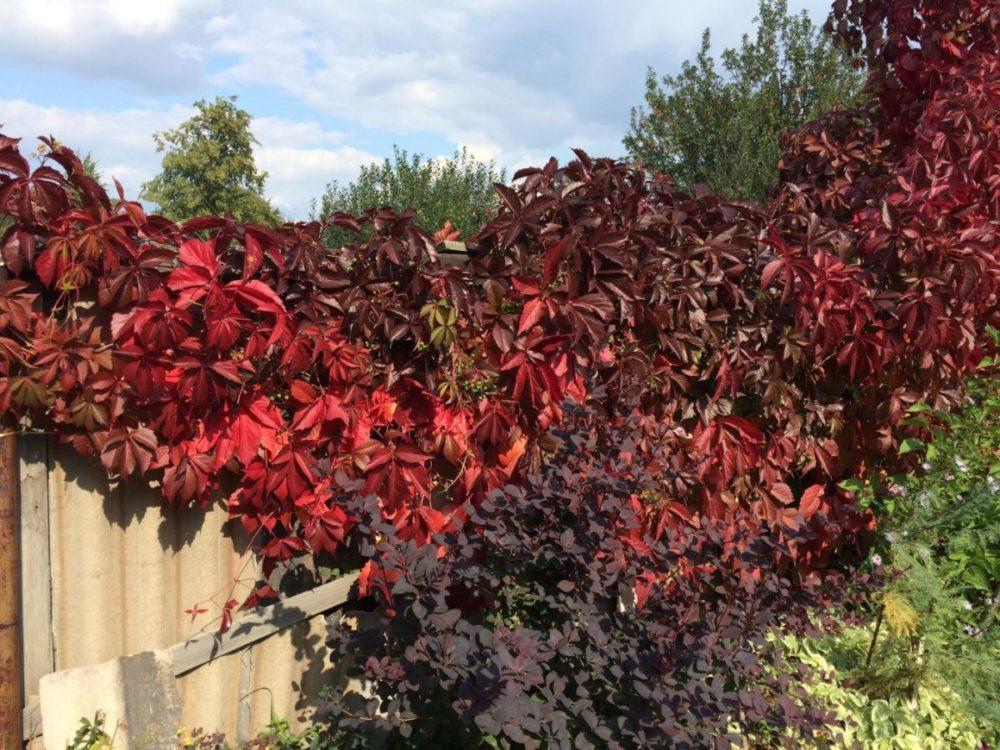 Сорт винограда Murorum