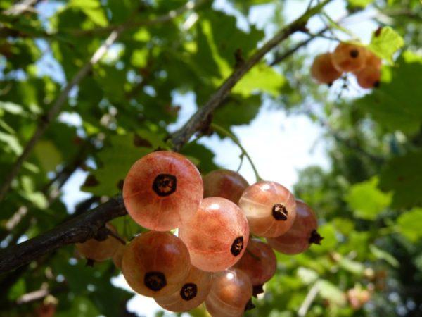 розовые ягоды