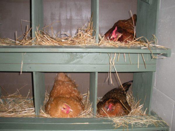 куры на гнезде