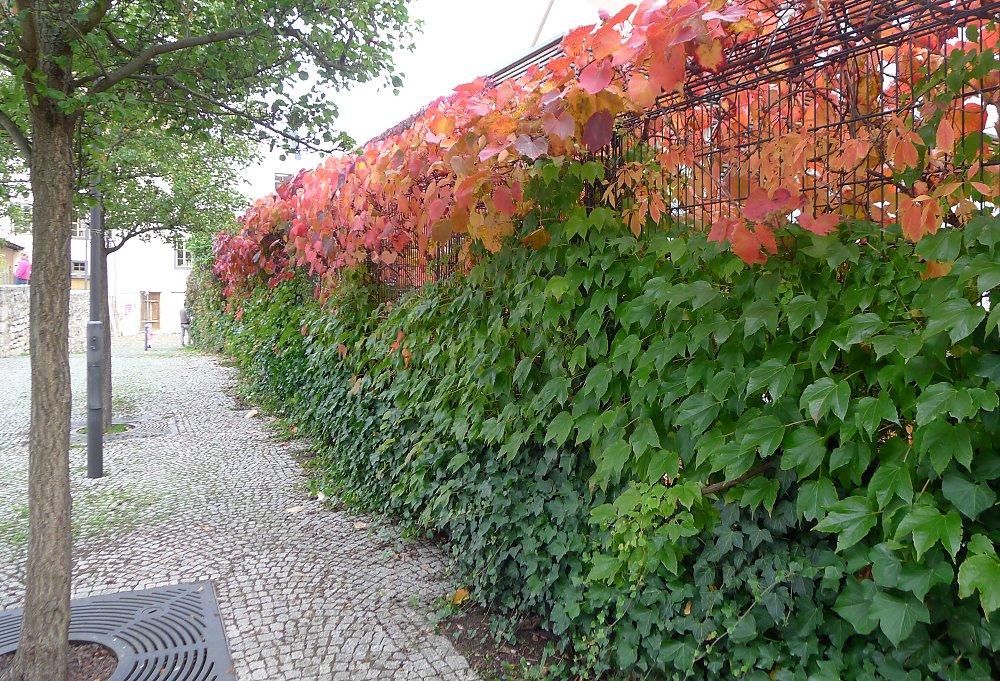 Окрас листьев винограда