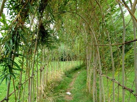 живая изгородь ива