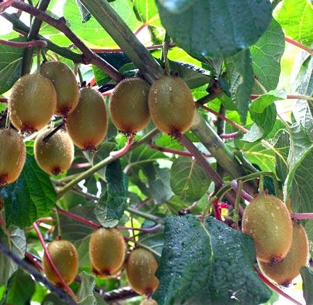 фруктовые лианы