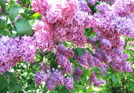 сирень лиловые цветы