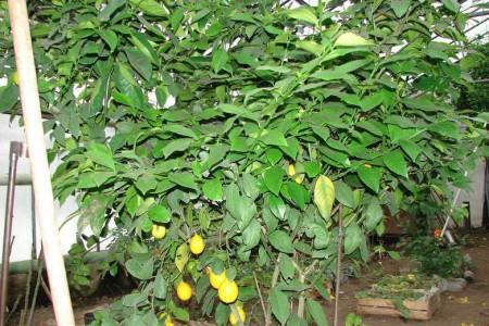 дерево лимона растет в теплице