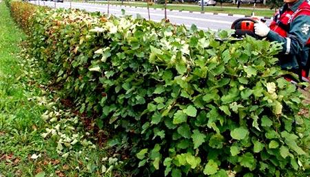 лиственная живая изгородь