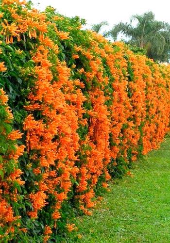 вьющиеся многолетние растения