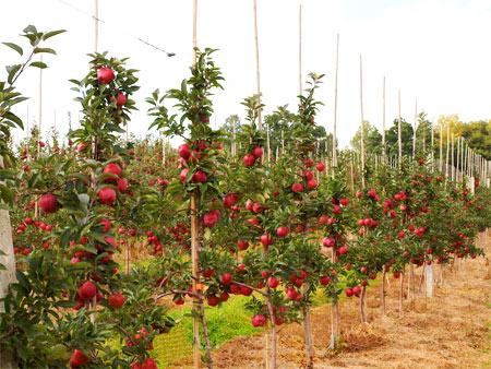 молодые плодоносящие деревья