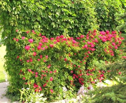 многолетние растения изгородь