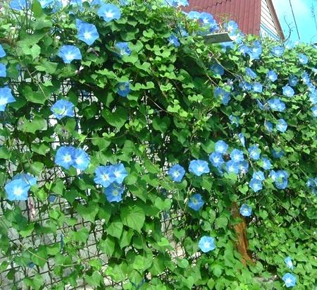 однолетнее вьющееся растение