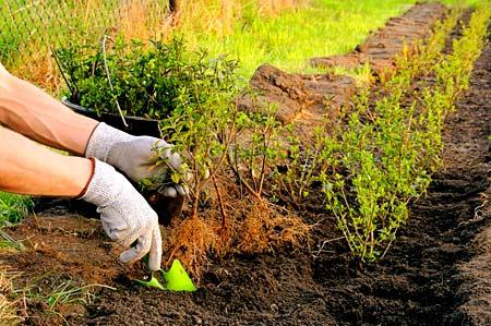 почва для живой изгороди