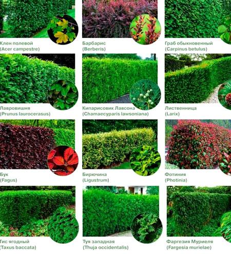 растения живая изгородь