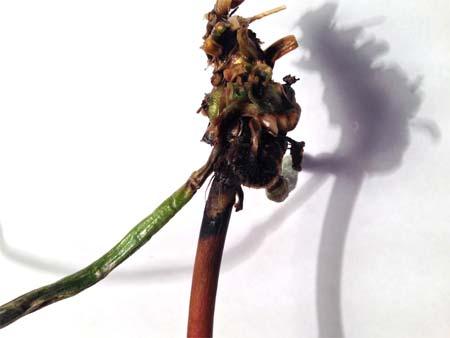 Сгнивший корень травы