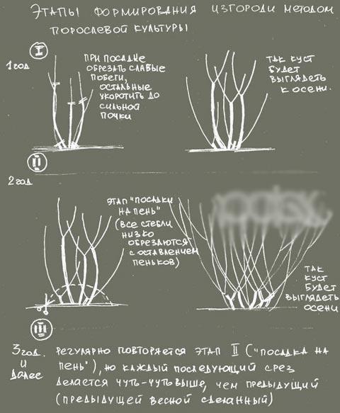 этапы формирования живой изгороди