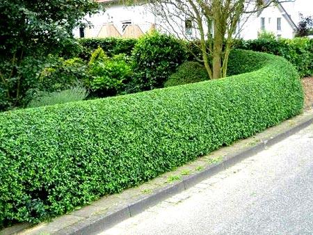 вечнозеленая изгородь