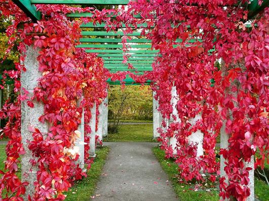 Пергола в цветущих растениях